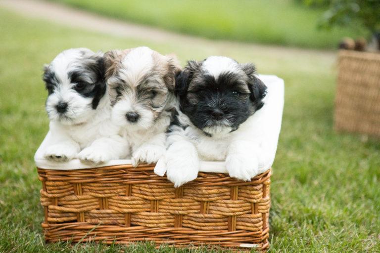 Cavanese puppies near me